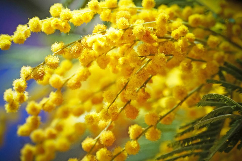 Yellow Mimosa closeup